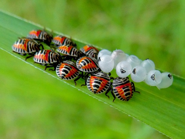 草の裏側にいたキマダラカメムシの孵化後間もない若令幼虫と卵 - 22