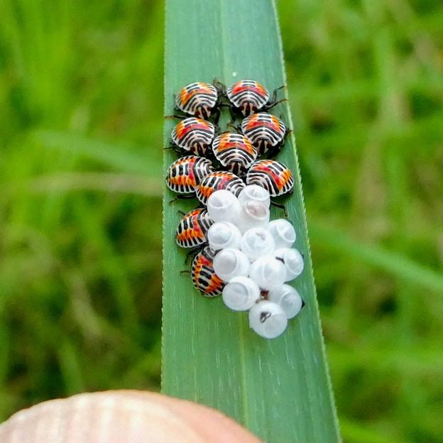 草の裏側にいたキマダラカメムシの孵化後間もない若令幼虫と卵 - 24