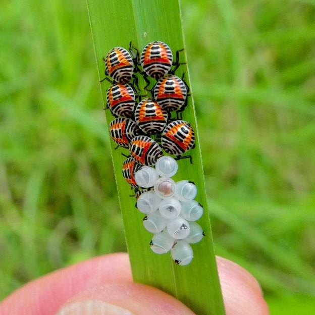 草の裏側にいたキマダラカメムシの孵化後間もない若令幼虫と卵 - 26