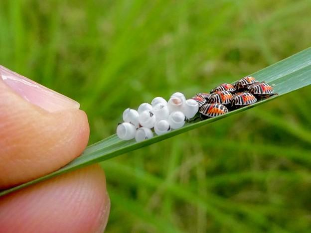 草の裏側にいたキマダラカメムシの孵化後間もない若令幼虫と卵 - 27