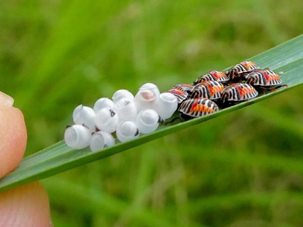 草の裏側にいたキマダラカメムシの孵化後間もない若令幼虫と卵 - 28