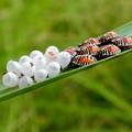 草の裏側にいたキマダラカメムシの孵化後間もない若令幼虫と卵 - 30