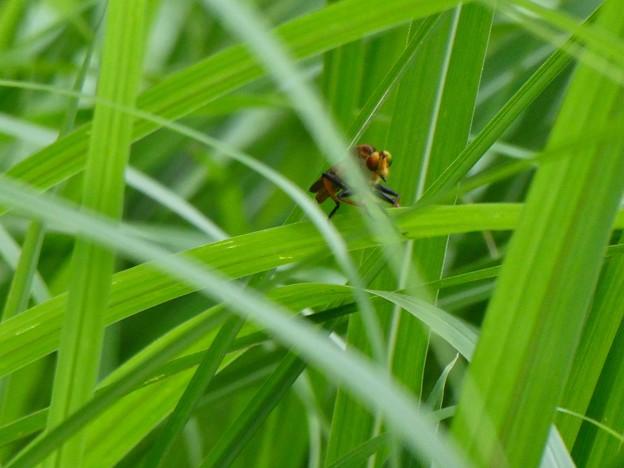 草の上にとまる、たぶんアオメアブ - 1