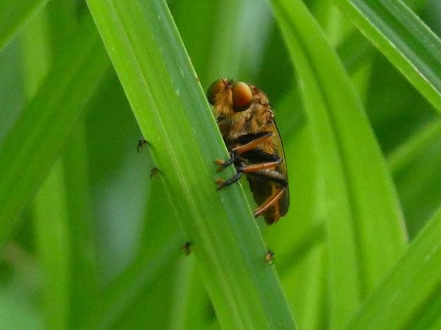 草の上にとまる、たぶんアオメアブ - 3