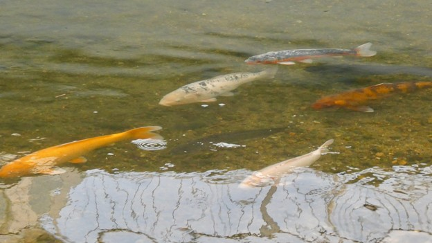 内津川を泳ぐ色んな色の鯉 - 1