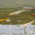 Photos: 内津川を泳ぐ色んな色の鯉 - 1