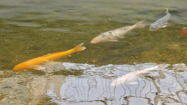 内津川を泳ぐ色んな色の鯉 - 2