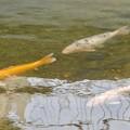 Photos: 内津川を泳ぐ色んな色の鯉 - 2