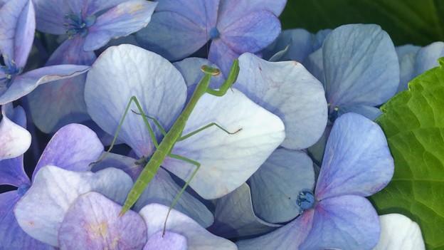 アジサイの花の上にいた小さなカマキリ
