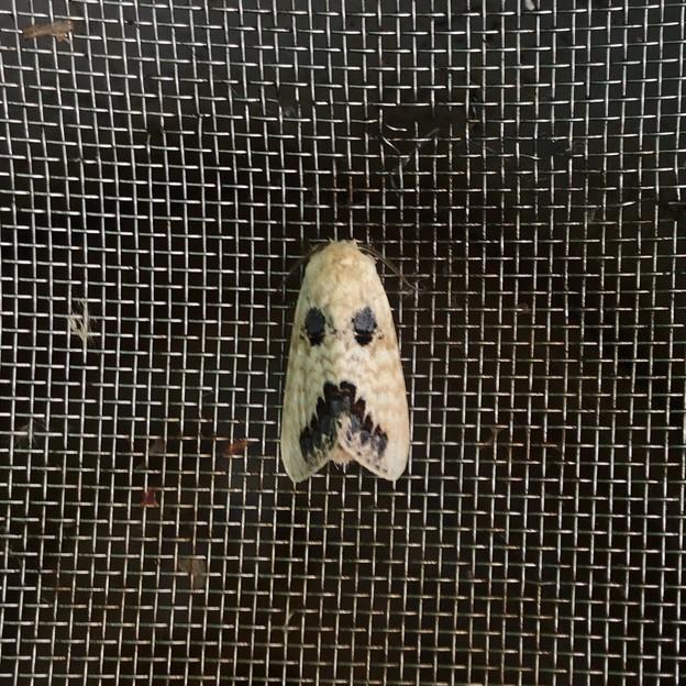 お化けの顔の様な模様のある蛾 - 1