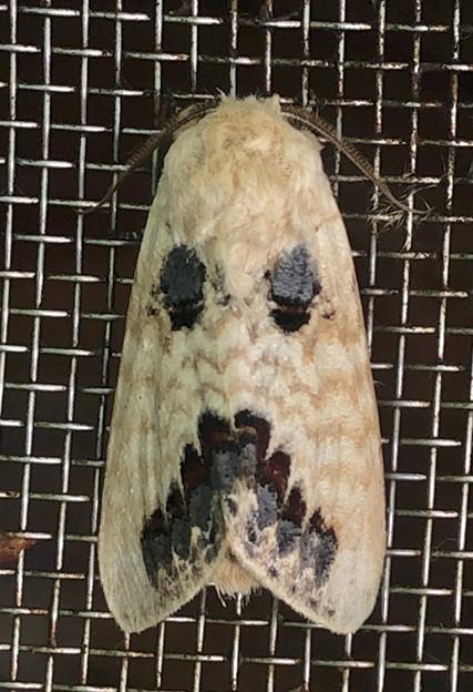 お化けの顔の様な模様のある蛾 - 2
