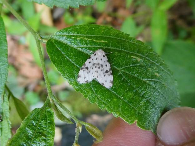 白地に黒い斑点のある小さな蛾「ホシオビコケガ」 - 1