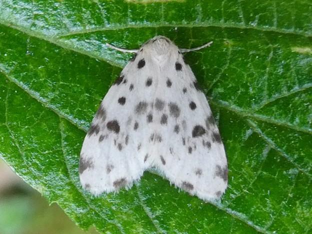 白地に黒い斑点のある小さな蛾「ホシオビコケガ」 - 3
