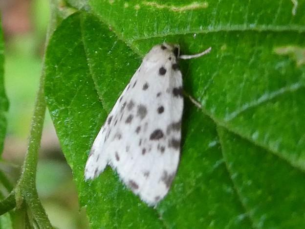 白地に黒い斑点のある小さな蛾「ホシオビコケガ」 - 5