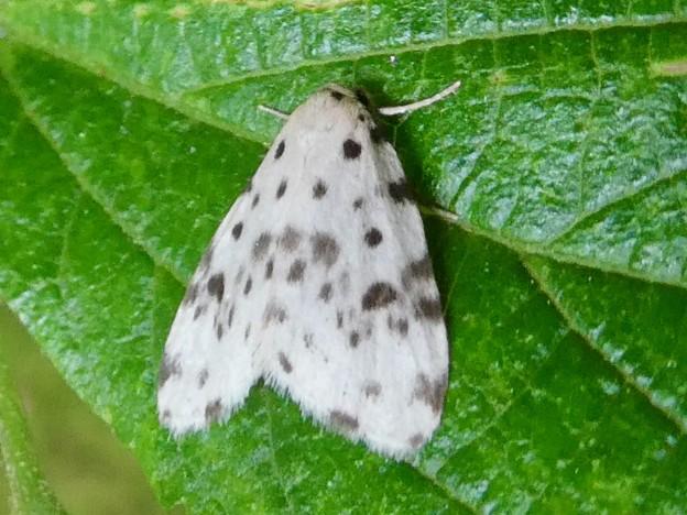 白地に黒い斑点のある小さな蛾「ホシオビコケガ」 - 6