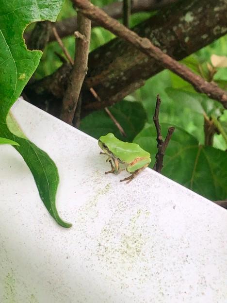 ガードレールの上にいたカエル - 1