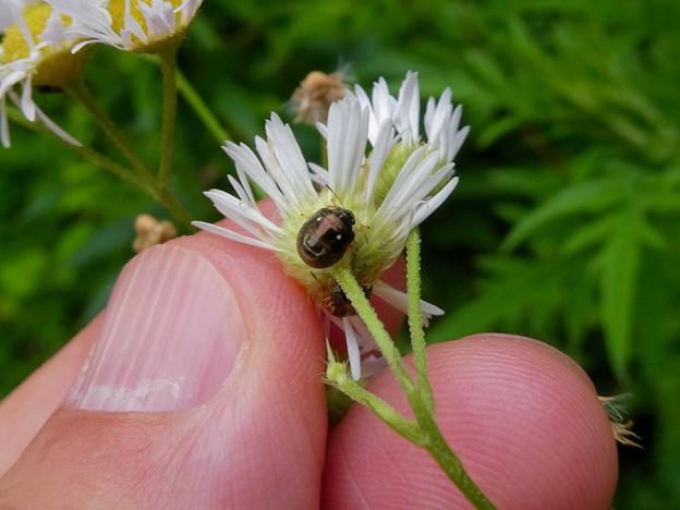 ムラサキシラホシカメムシかマルシラホシカメムシの幼虫 - 1