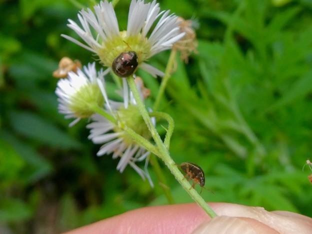 ムラサキシラホシカメムシかマルシラホシカメムシの幼虫 - 4