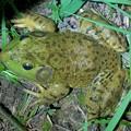 草むらにいたウシガエル - 1