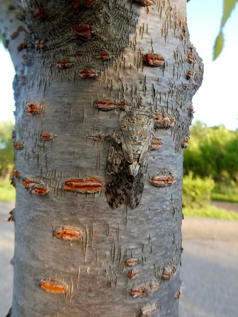 見分けが付きにくい木に止まってたニイニイゼミ - 1