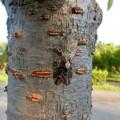 Photos: 見分けが付きにくい木に止まってたニイニイゼミ - 1