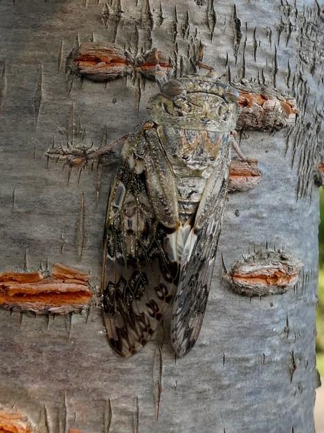見分けが付きにくい木に止まってたニイニイゼミ - 2