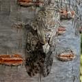 Photos: 見分けが付きにくい木に止まってたニイニイゼミ - 2
