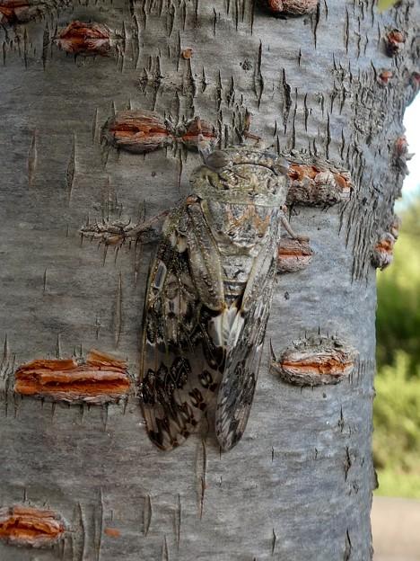 見分けが付きにくい木に止まってたニイニイゼミ - 3