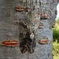 Photos: 見分けが付きにくい木に止まってたニイニイゼミ - 3