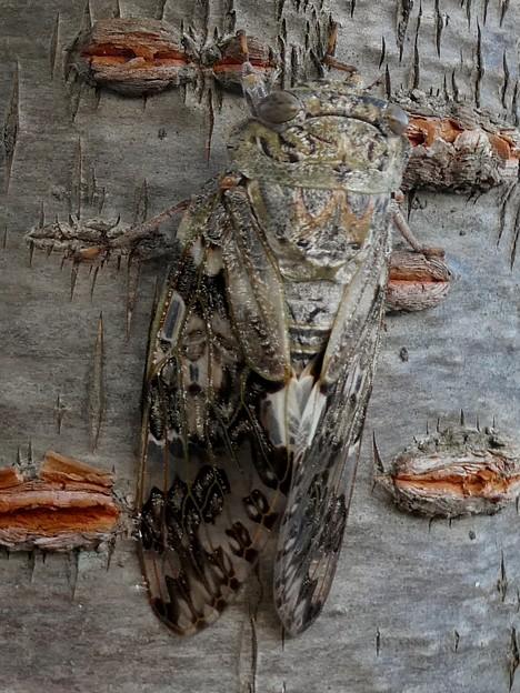 見分けが付きにくい木に止まってたニイニイゼミ - 4