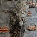 Photos: 見分けが付きにくい木に止まってたニイニイゼミ - 4