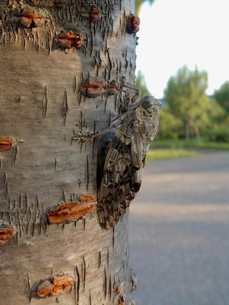 見分けが付きにくい木に止まってたニイニイゼミ - 5