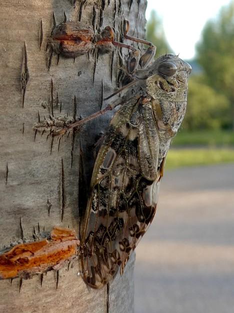 見分けが付きにくい木に止まってたニイニイゼミ - 6