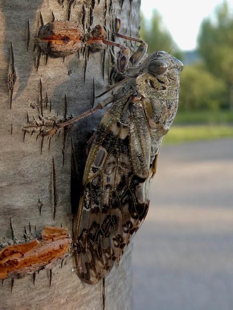 見分けが付きにくい木に止まってたニイニイゼミ - 7