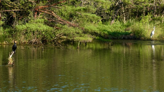 愛・地球博記念公園の池にいたカワウとアオサギ