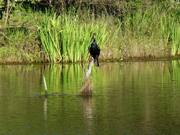 池の中の木にとまるカワウ - 1