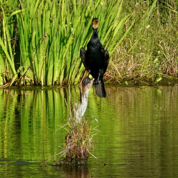 池の中の木にとまるカワウ - 2