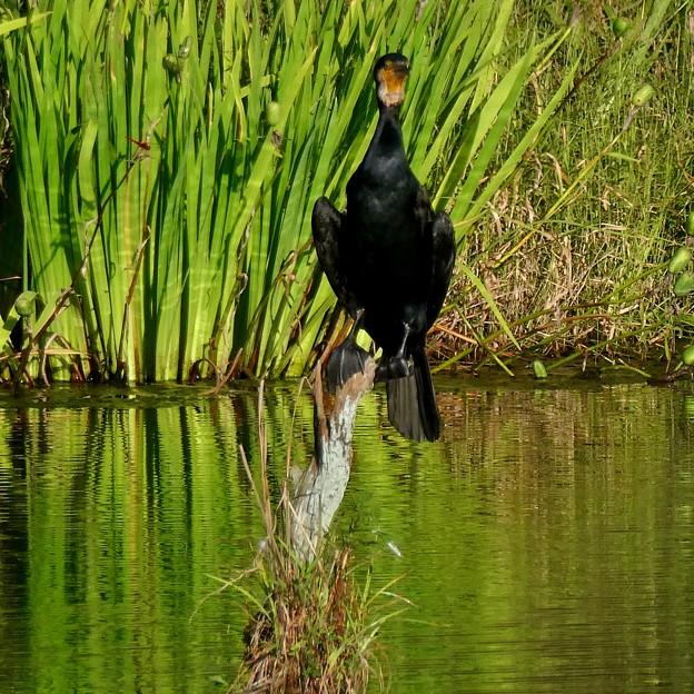 池の中の木にとまるカワウ - 3