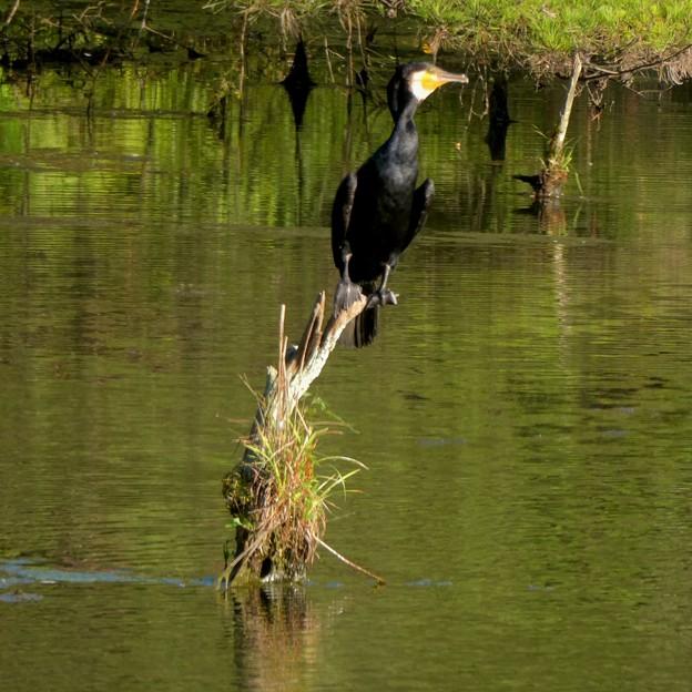 池の中の木にとまるカワウ - 4
