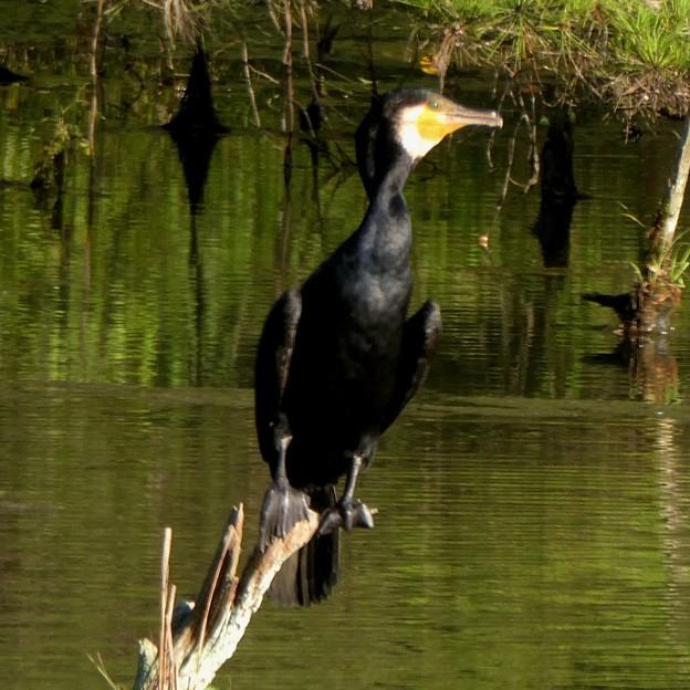 池の中の木にとまるカワウ - 5