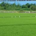 田んぼに集まっていたアオサギとシラサギ - 1