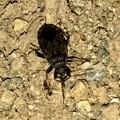地面を忙しなく歩いてた黒くて小さな昆虫(クロホシカメムシ?) - 2