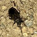 地面を忙しなく歩いてた黒くて小さな昆虫(クロホシカメムシ?) - 5