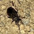 地面を忙しなく歩いてた黒くて小さな昆虫(クロホシカメムシ?) - 6