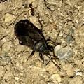 地面を忙しなく歩いてた黒くて小さな昆虫(クロホシカメムシ?) - 7