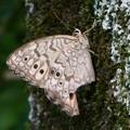 木の上にとまるジャノメチョウの一種 - 1