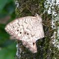 木の上にとまるジャノメチョウの一種 - 2