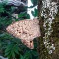 木の上にとまるジャノメチョウの一種 - 3