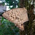 木の上にとまるジャノメチョウの一種 - 5