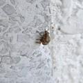 トイレの壁にいた小さなゾウムシ - 3